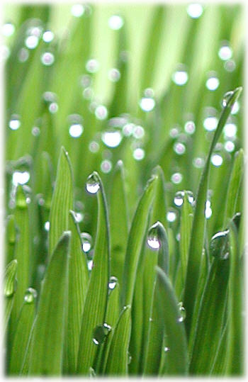Wheat Grass with Dew Drops